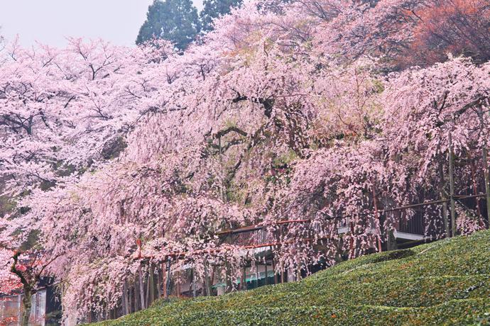 岐阜県池田町霞間ヶ渓の桜
