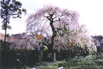 岐阜県池田町護法山毘沙門院の雲上の桜