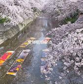 愛知県岩倉市五条川ののんぼり洗いの画像です。